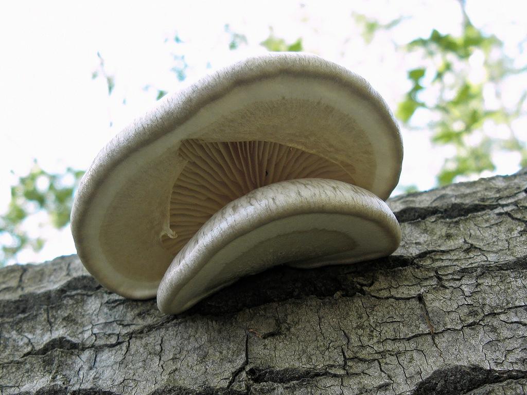 начале третьего несъедобные грибы вешенки фото можно