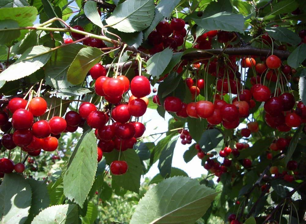 Сорт вишни Ассоль