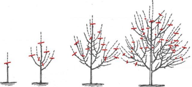 Формирование кроны вишни для лучшего плодоношения