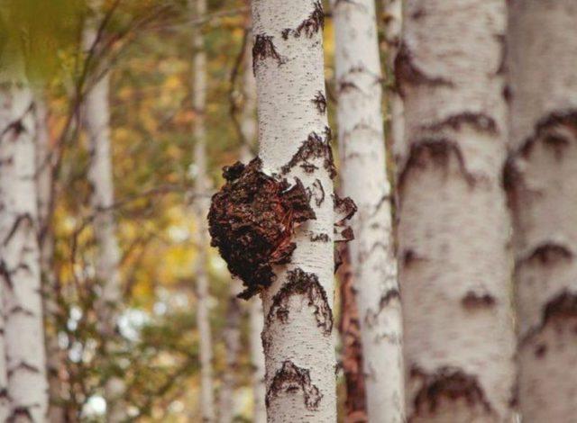 Срок годности гриба чаги