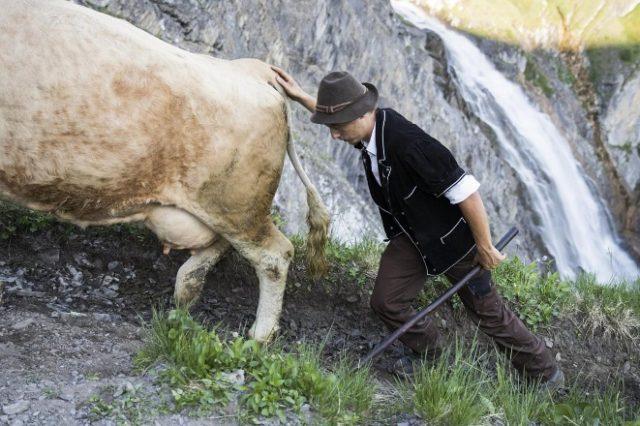 Лечение тимпании у коров