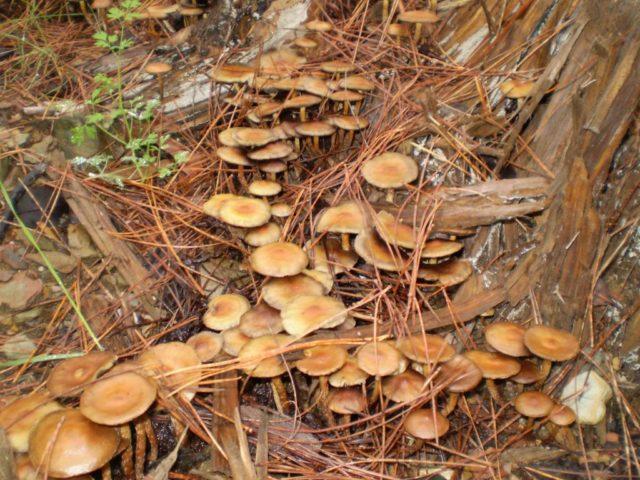 Псилоцибиновые грибы когда собирать в подмосковье