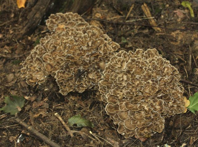 Разновидности гриба барана