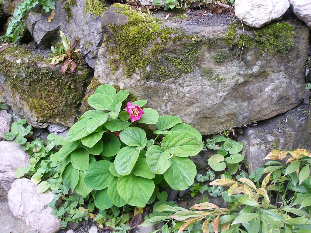 Пион горный растение из красной книги