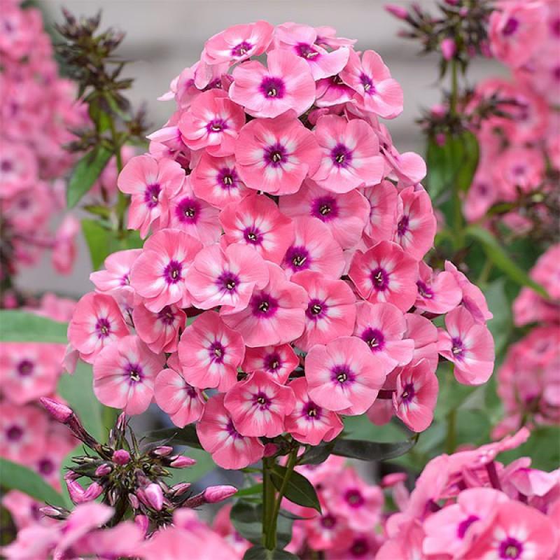 Розовые ароматные садовые цветы фото бесплатные