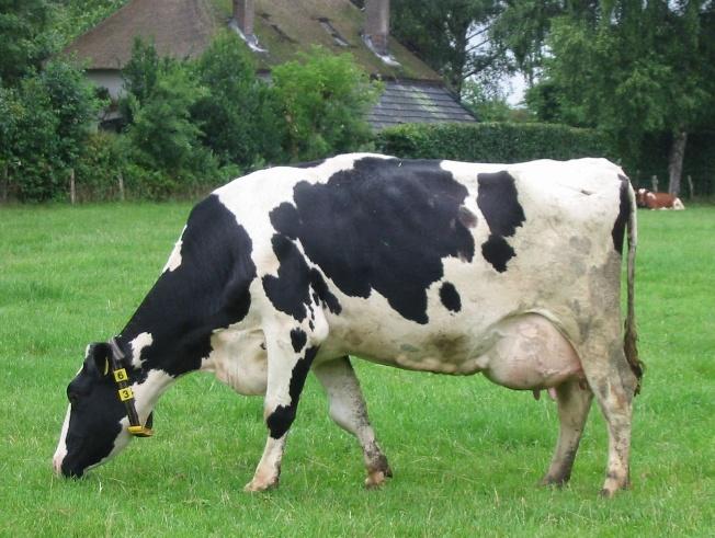 Послеродовой парез у коров лечение