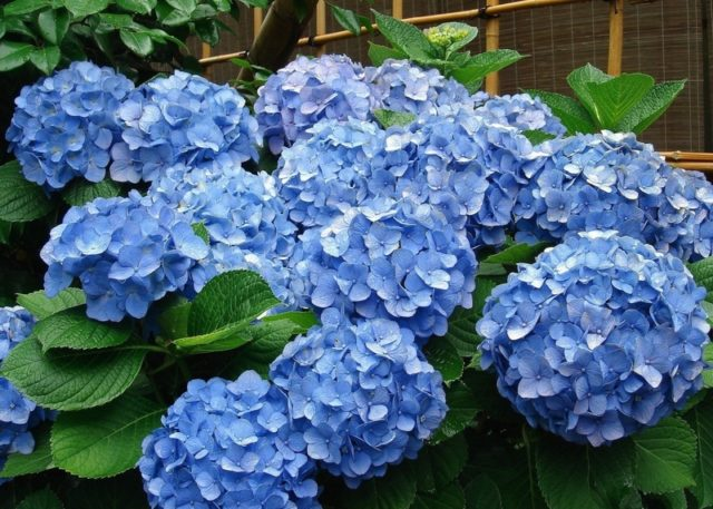 Голубая гортензия: фото и описание, посадка и уход