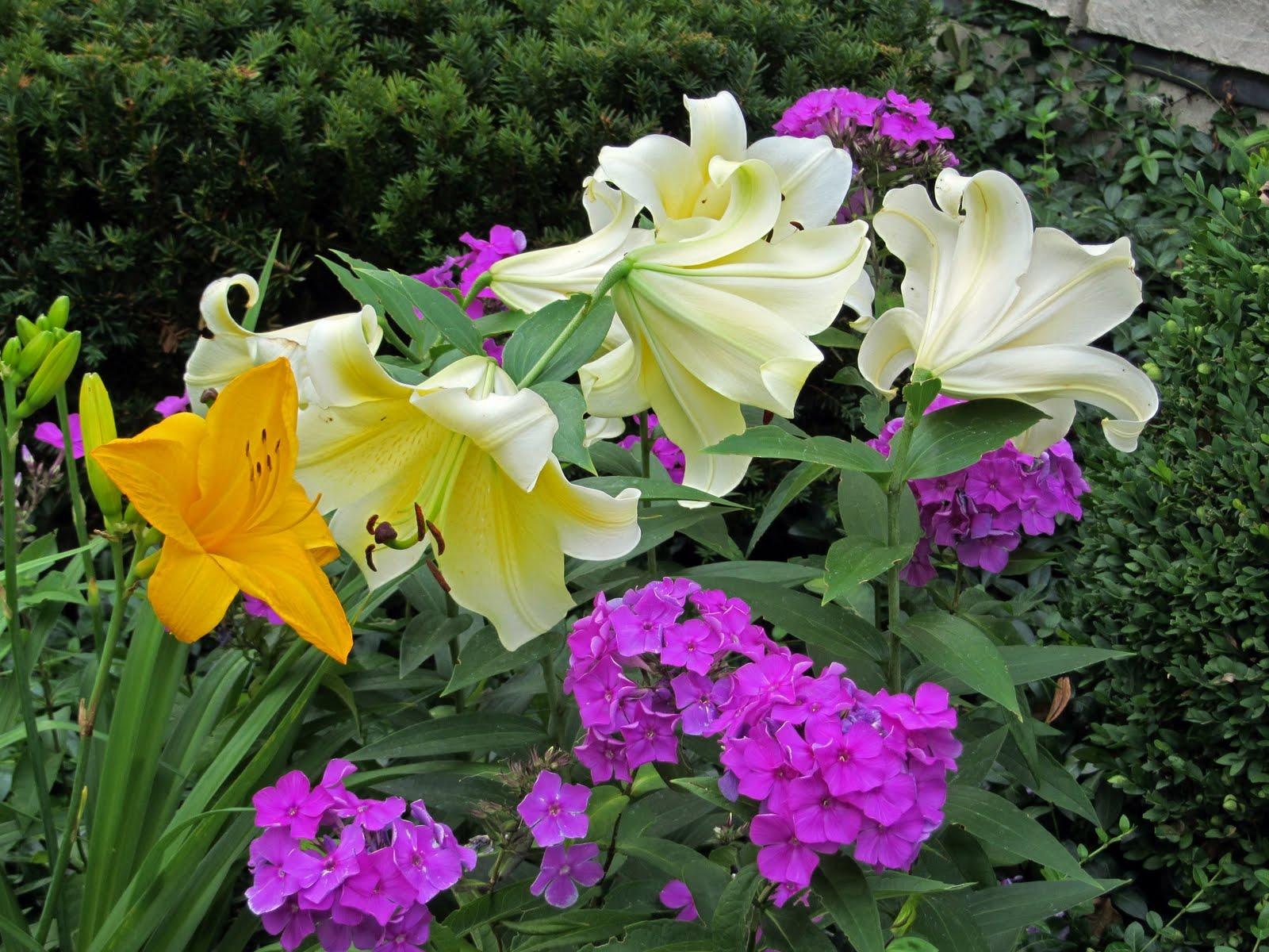С какими цветами сочетаются флоксы в цветнике