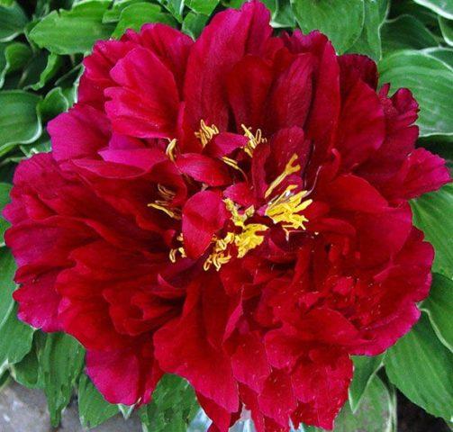 Цветники с пионами