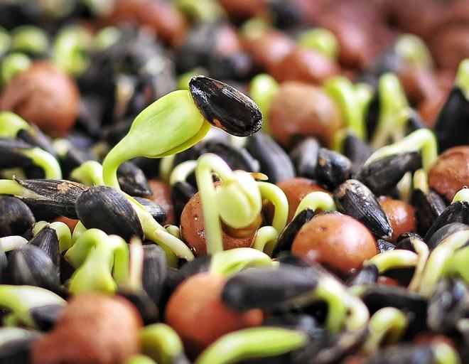 Как в домашних условиях прорастить семена для еды?