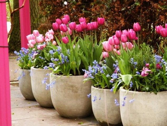 Можно садить тюльпаны в горшок дома зимой