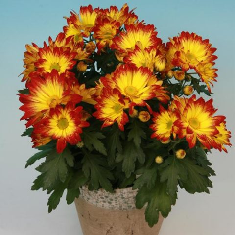 Хризантема шаровидная: выращивание, размножение, уход. Шаровидные корейские хризантемы. Как сохранить хризантему зимой