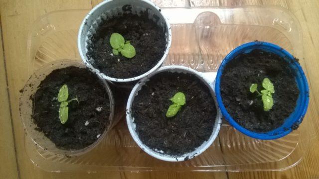 Семена колеуса как выглядят