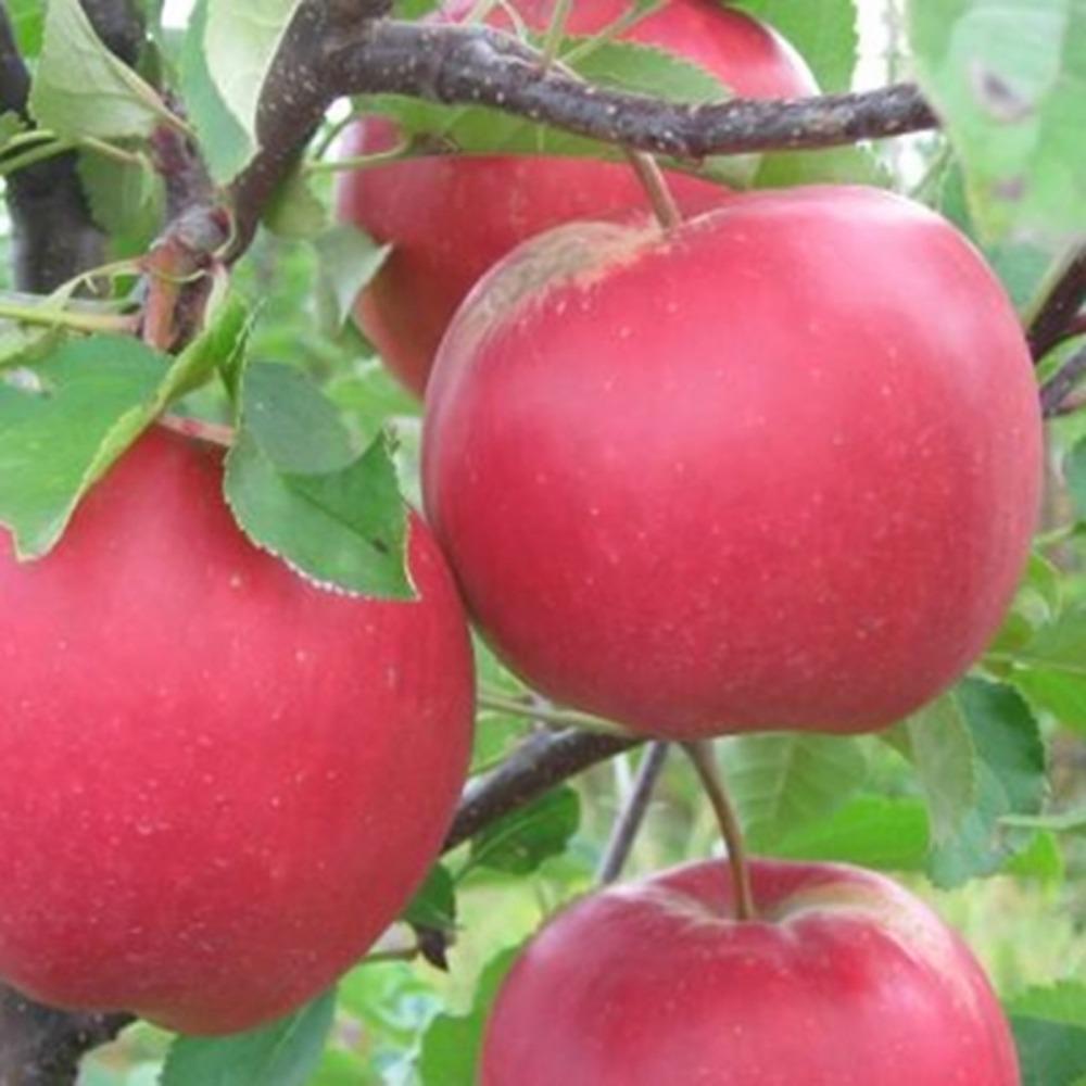 этом яблоня жар птица описание фото кто