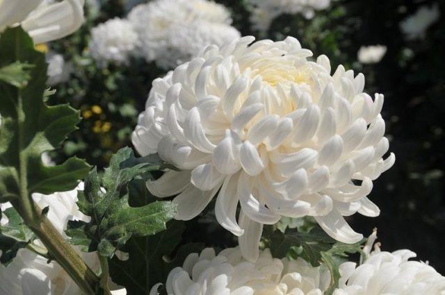 Хризантема одноголовая белая сорта