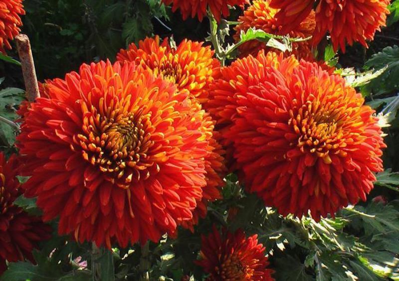 бывают ли красные хризантемы фото тут