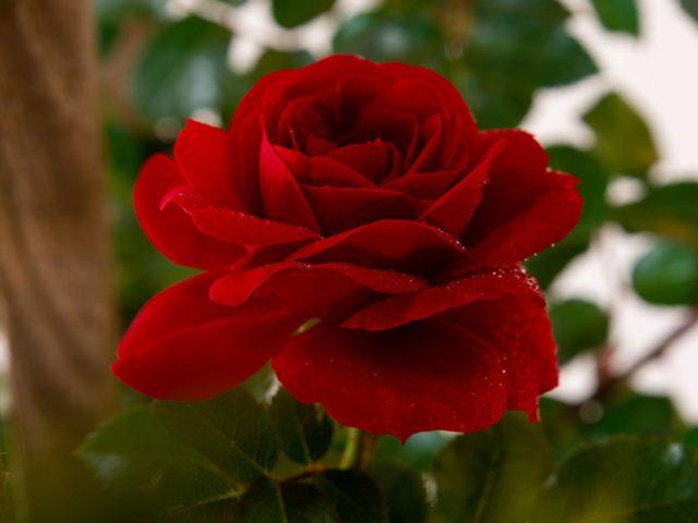Плетистая роза Амадеус (Amadeus): описание сорта, характеристика ...