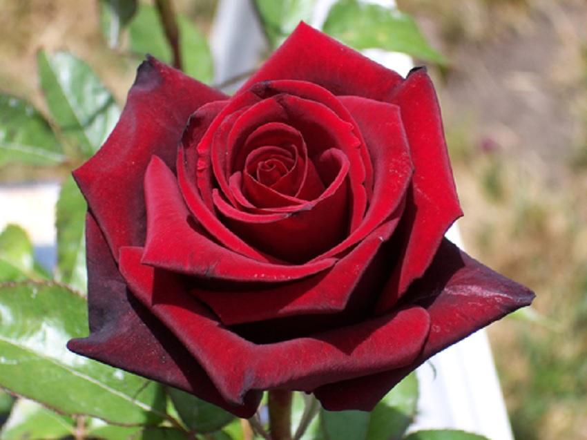 Роза черная магия фото и описание отзывы
