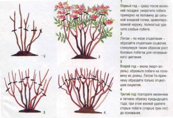Гортензия метельчатая Фантом фото и описание, отзывы