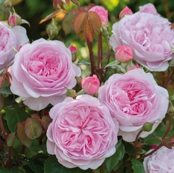Розы пионовидные фото