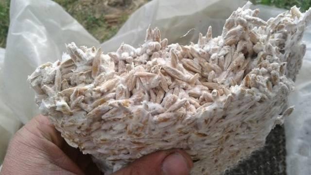 Изображение - Выращивание грибов вешенка 1032_10