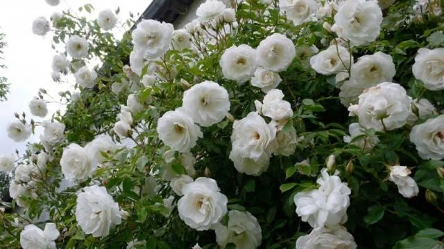 Плетистые розы белые сорта