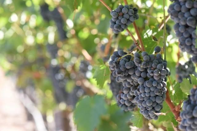 виноград таежный описание сорта фото