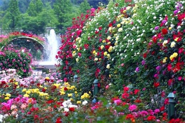 Розы садовые. уход.