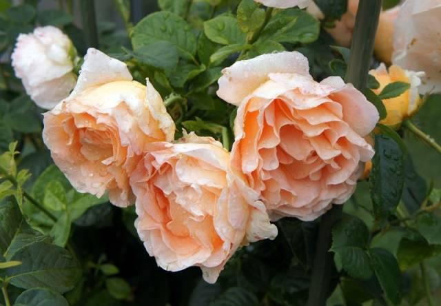 роза полька плетистая фото