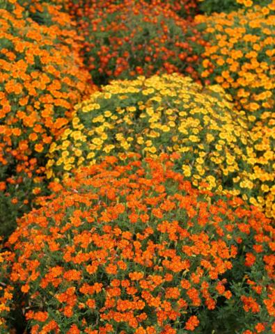 Бархатцы Мимимикс фото, выращивание