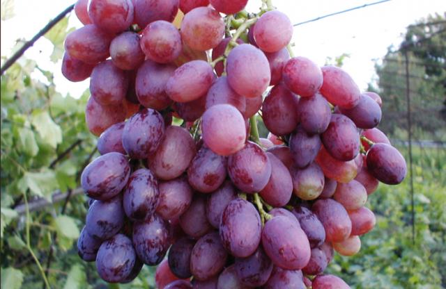 Виноград сорта Кишмиш Лучистый – описание сорта, фото