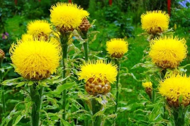 Цветы-многолетники на клумбу