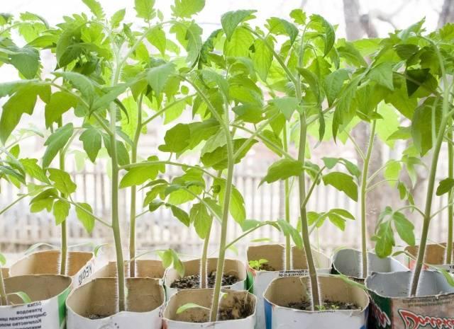 Уход за рассадой помидор в домашних условиях 80