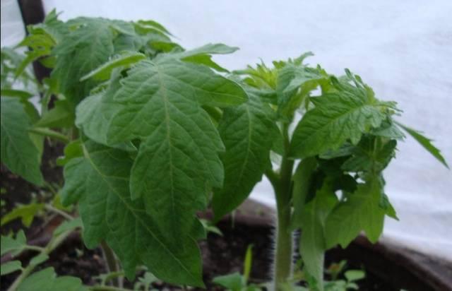 При какой температуре можно высаживать рассаду помидор