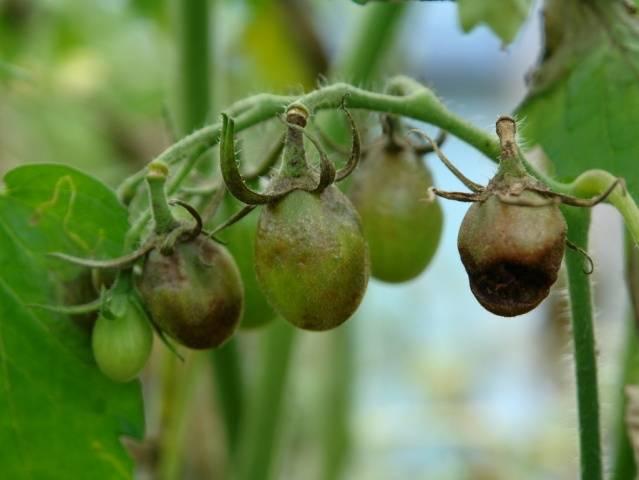 Как правильно развести бордосскую смесь для помидор