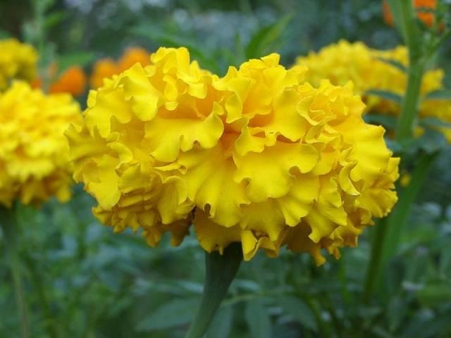 Бархатцы фото цветов, описание