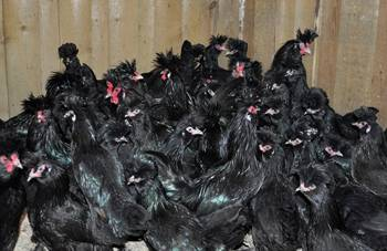 Павловская порода кур