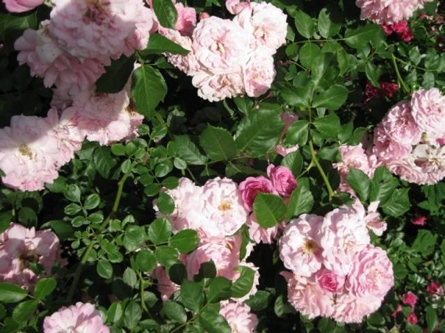 Вьющиеся розы фото и названия