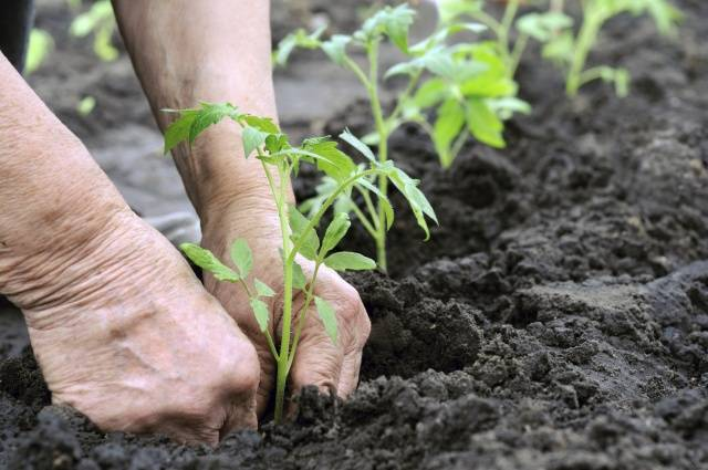 Выращивание томатов в открытом грунте в Сибири