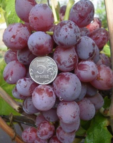 Виноград Эверест описание сорта, фото, отзывы