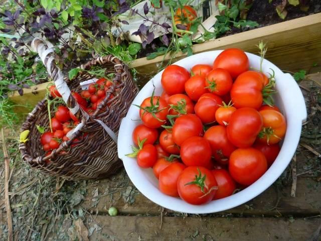 Выращивание томатов яблонька россии 6