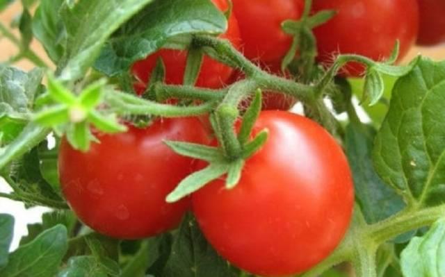 Обработка помидоров трихополом