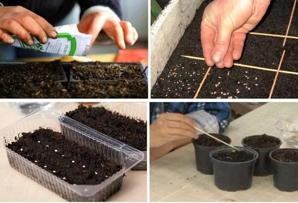 Когда садить семена виктории на рассаду 32