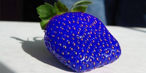 Синяя клубника из китая отзывы