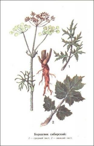 Борщевик сибирский