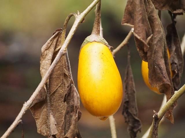Желтые баклажаны сорта, фото