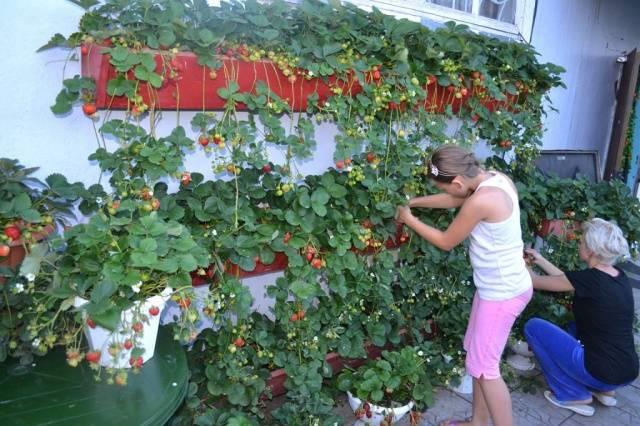 клубника выращивание в ящиках фото