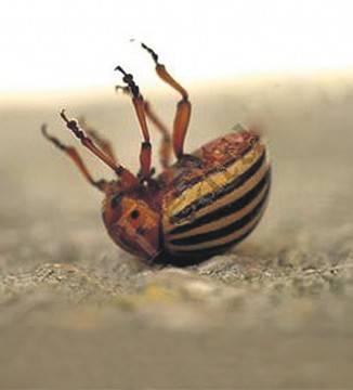 Апачи от колорадского жука как разводить, отзывы