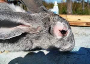 узелковый миксоматоз у кроликов лечение