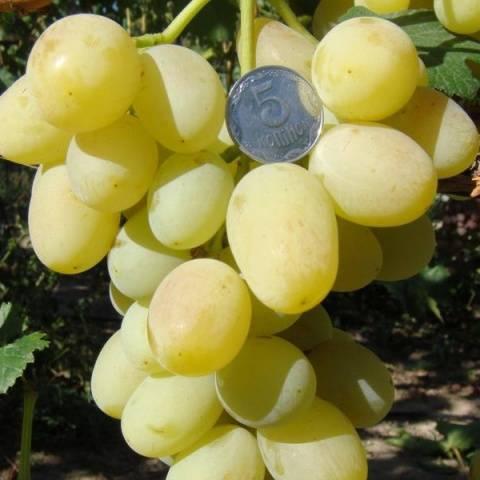 Виноград Ландыш описание сорта, фото, отзывы